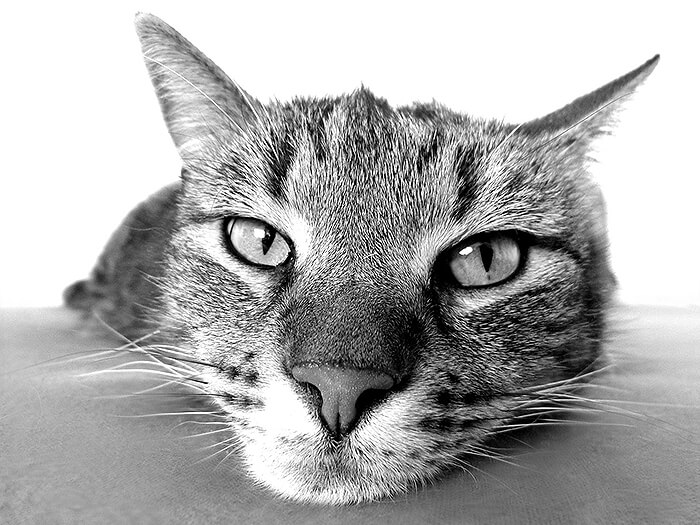 Black and white photograph of a cat.