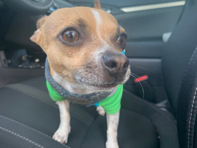 Bibi the chihuahua sitting in the front seat