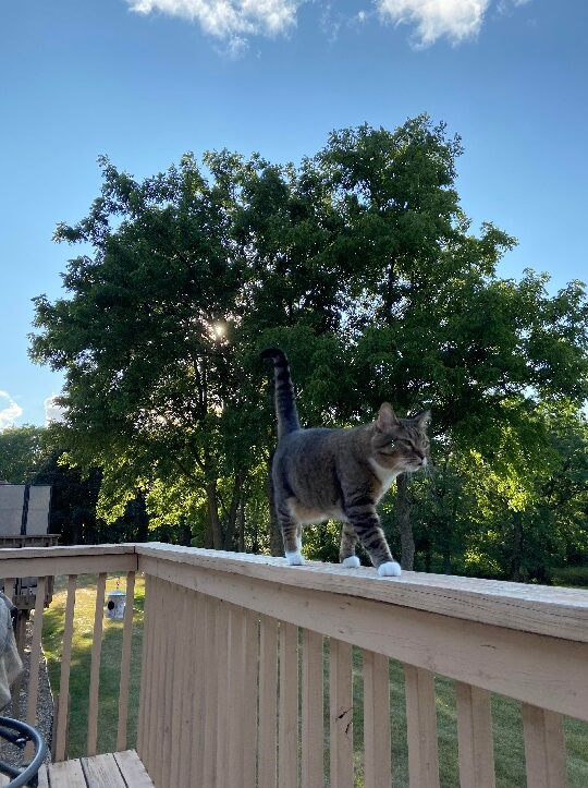 A tabby cat is standing on a porch ledge. In the background, you can see blue skies and a tree.