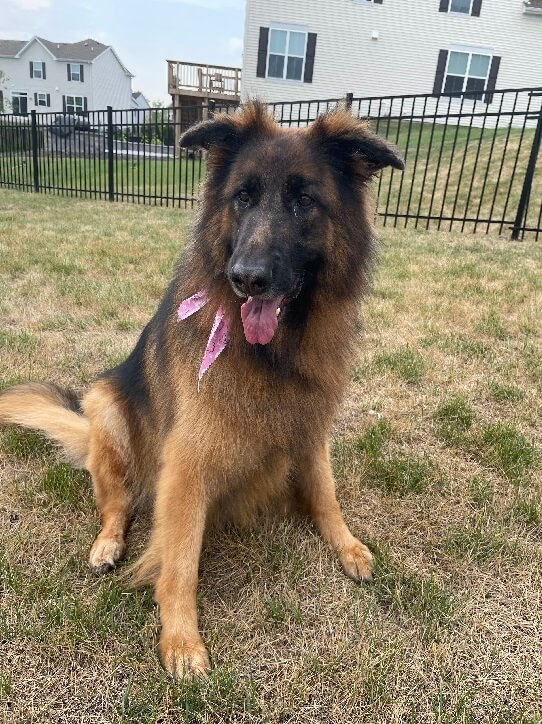 A long hair German Shepherd sits outside in a fenced yard. Her tongue is hanging out and she is wearing a pink bow around her neck.